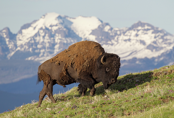 Max Waugh - Bison and Mountains
