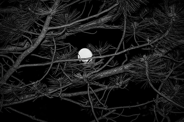 Aimee L Maher Photography and Art Visit ALMGallerydotcom - Black and White Moon Through Pines