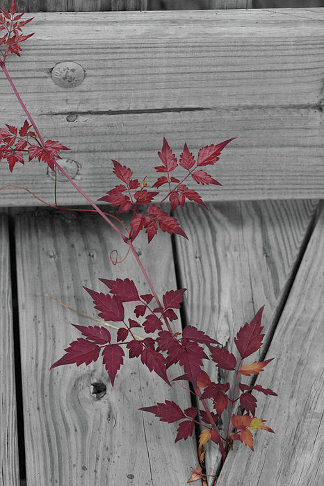 Shari Bailey - Black and White with Red Leaves
