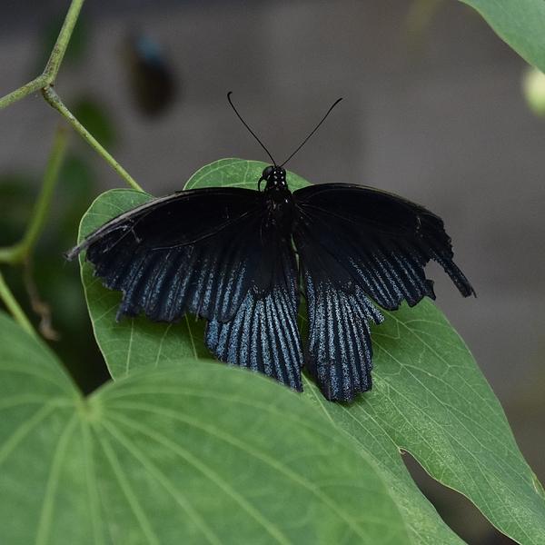 Marta Kazmierska - Black Butterfly