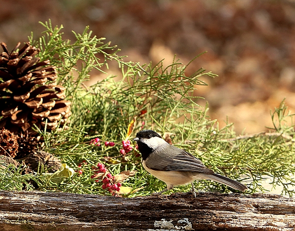 Sheila Brown - Black-capped Chickadee in Winter
