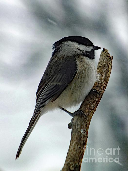 Cindy Treger - Black-capped Chickadee - Late March Snow Storm