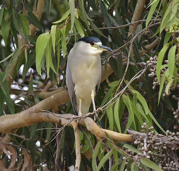 Linda Brody - Black Crowned Night Heron 2