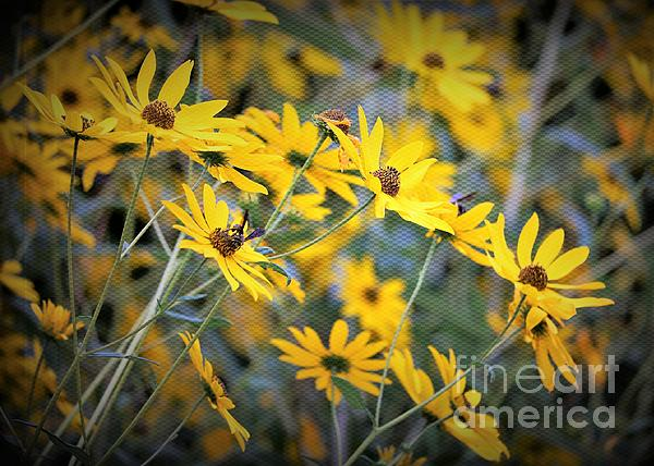 Diann Fisher - Black-eyed Susan Texturized