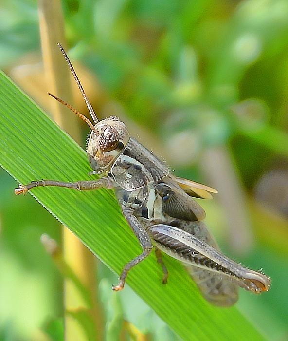 Barbara Molocznik - Black Grasshopper
