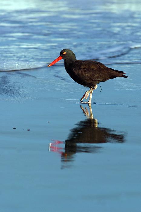 Black Oystercatcher Photograph