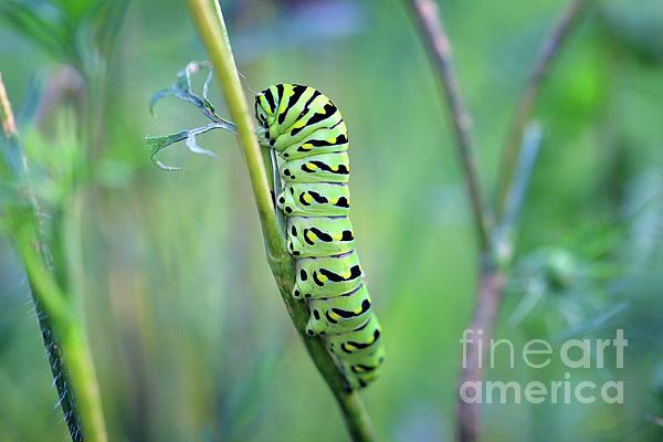 Karen Adams - Black Swallowtail Butterfly Caterpillar in Meadow