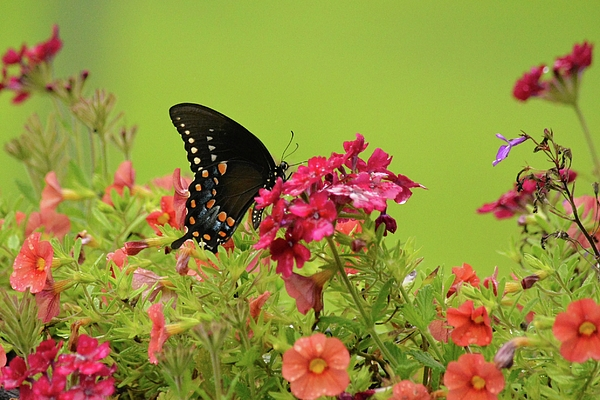 Judy Genovese - Black Swallowtail in the Garden