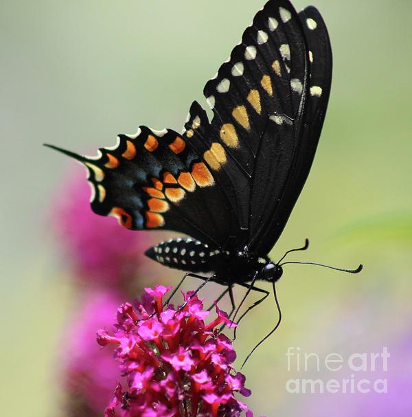Karen Adams - Black Swallowtail Ventral View Square