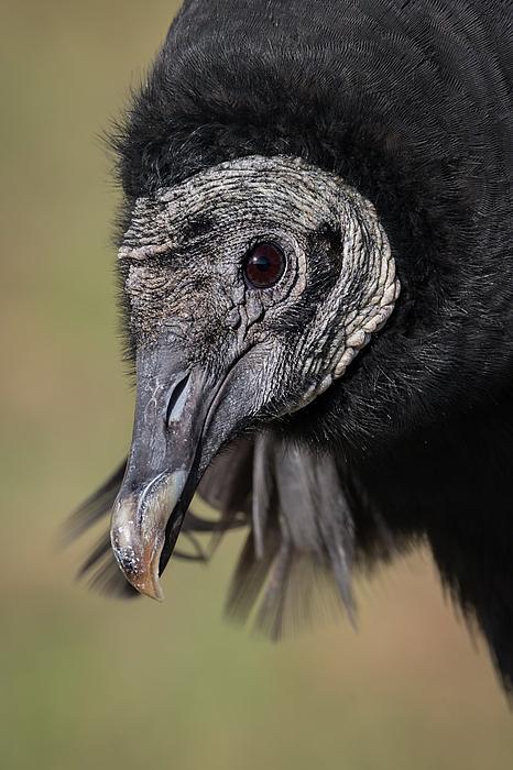 Dawn Currie - Black Vulture Portrait - WInged Ambassadors