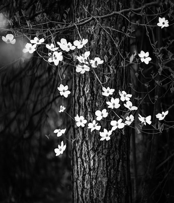 Larry Marshall - Blooming Dogwoods in Yosemite Black and White