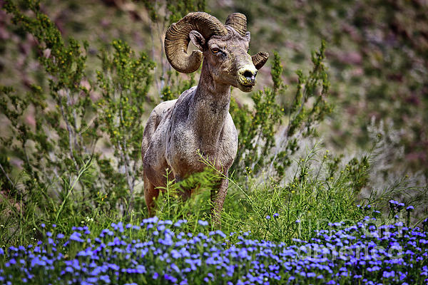 Sam Antonio Photography -  Blooms and Bighorn in Anza Borrego Desert State Park