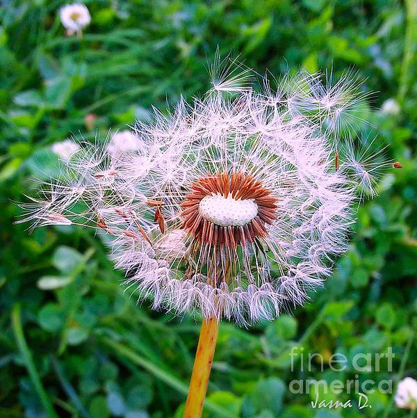 Jasna Dragun - Blown Dandelion