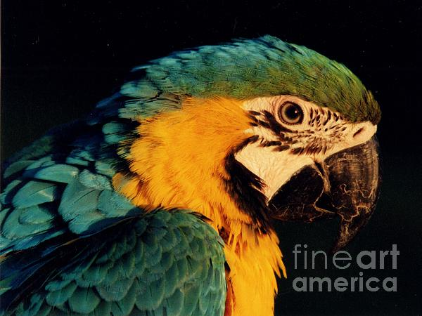 Jane Gatward - Blue And Gold Macaw
