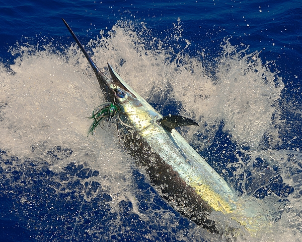 blue marlin hook up ratio The study was performed in guatemala targeting pacific sailfish and blue marlin the use of circle hooks will simply increase your hook-up ratio after a fish.