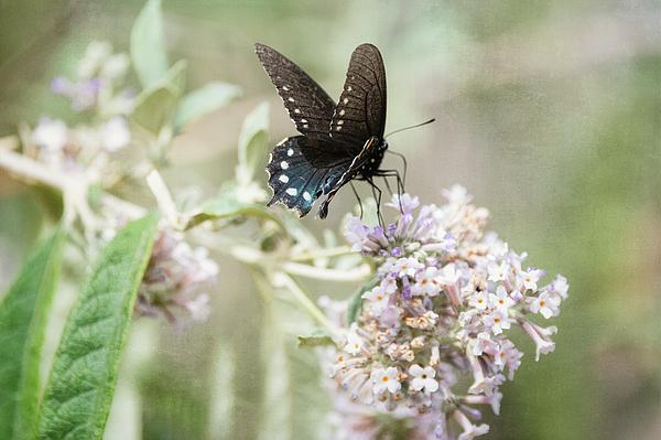 Saija Lehtonen - Blue Swallowtail Butterfly Atop White Flowers