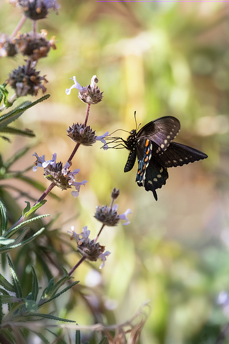 Saija Lehtonen - Blue Swallowtail Butterfly on Wildflowers