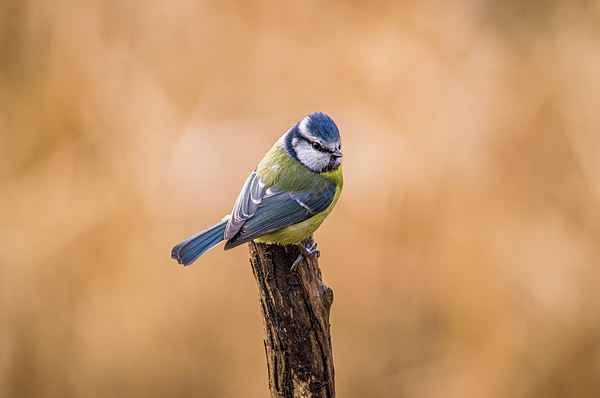 Stephen Jenkins - Blue tit on a perch