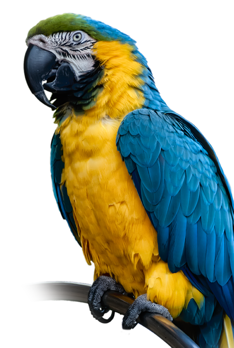 Blue Yellow Macaw No 1 Shower Curtain For Sale By Mark Myhaver