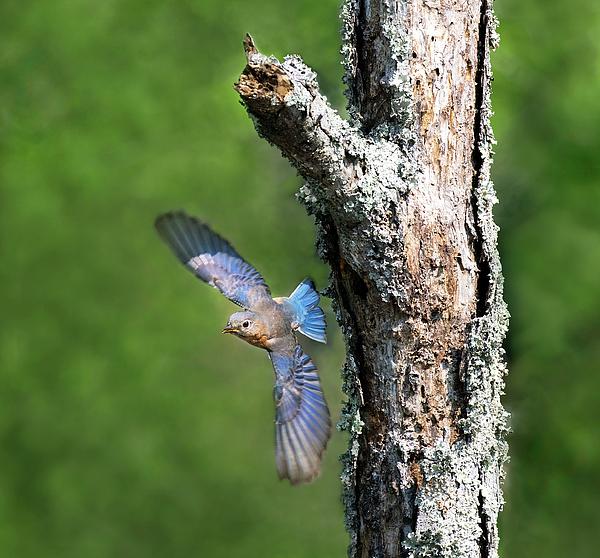 Art Cole - Bluebird Swoop