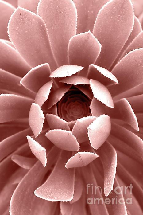 PrintsProject - Blush Pink Succulent Plant, Cactus Close Up