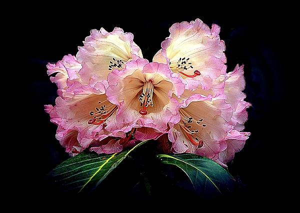 Toni Abdnour - Blushing Rhododendron
