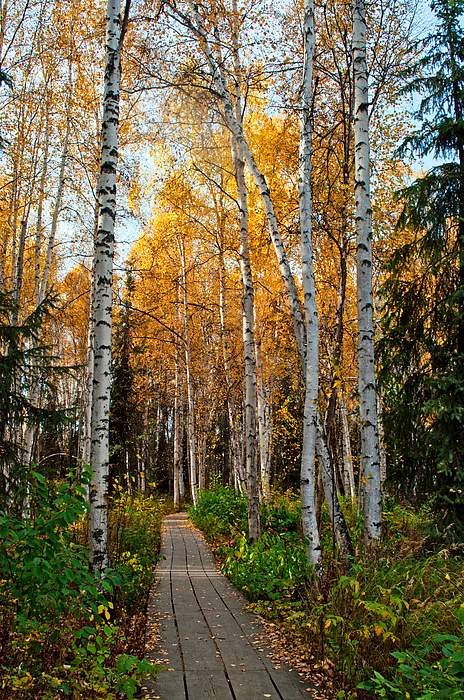 Cathy Mahnke - Boreal Forest Trail in Fall 1 - Creamers Field
