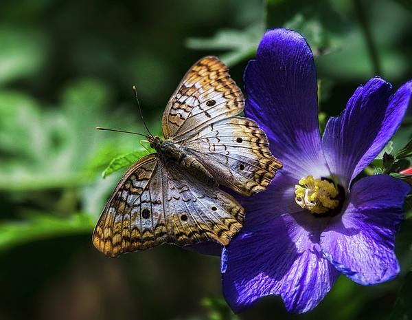 Saija Lehtonen - Buckeye Butterfly on Purple Flower