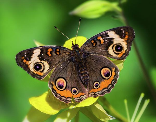 Saija Lehtonen - Buckeye Butterfly on Yellow Flower