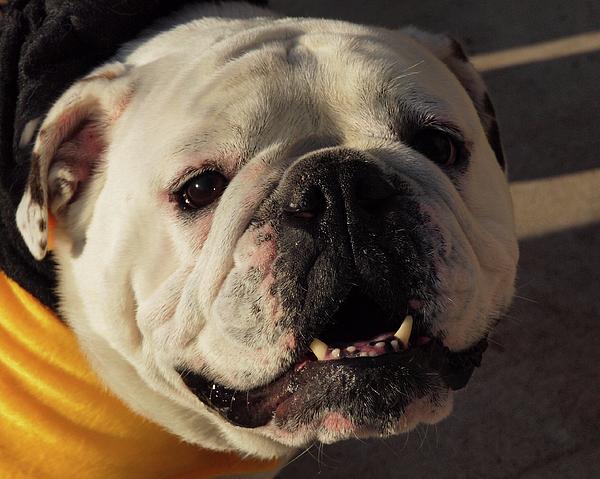 Resultado de imagen para Bulldog smiling