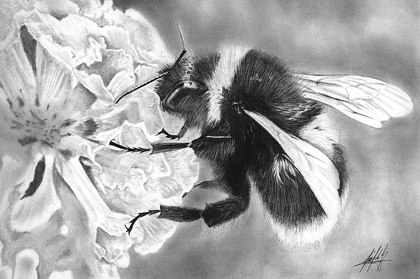 James Schultz - Bumble Bee Drawing