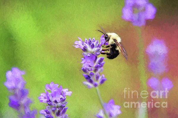 Sharon McConnell - Bumblebee On Lavender