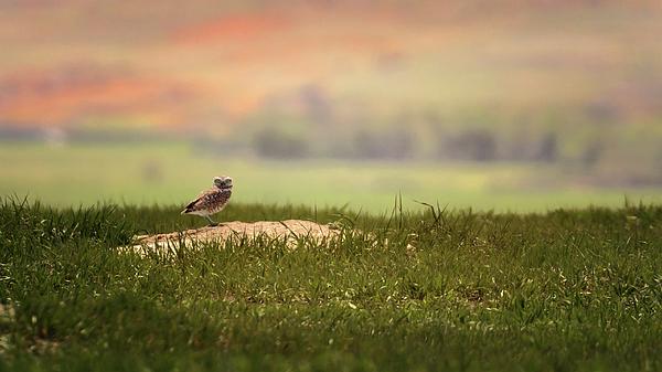 Susan Rissi Tregoning - Burrowing Owl 2