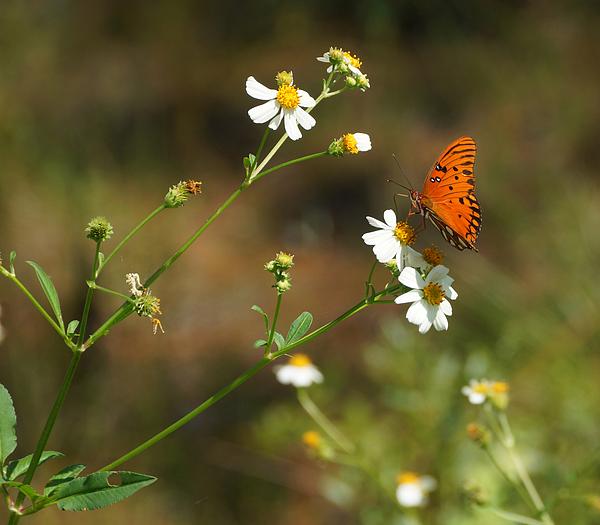 Sandy Keeton - Butterfly on Widflower