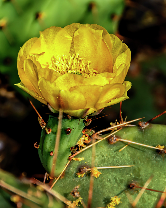 Cactus Flower V26 Photograph
