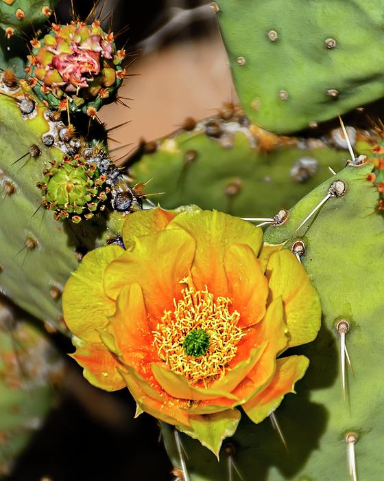 Cactus Flower V46 Photograph