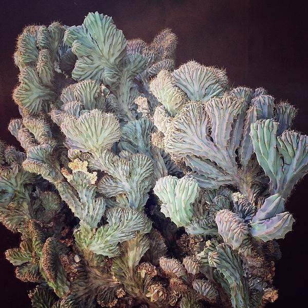 Pedro Vit - Cactus