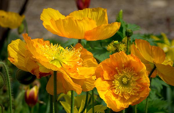 Ken Wolter - California Orange Poppies