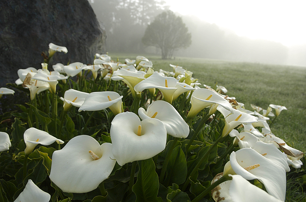 Calla Lilies Zantedeschia Aethiopica Greeting Card For Sale By