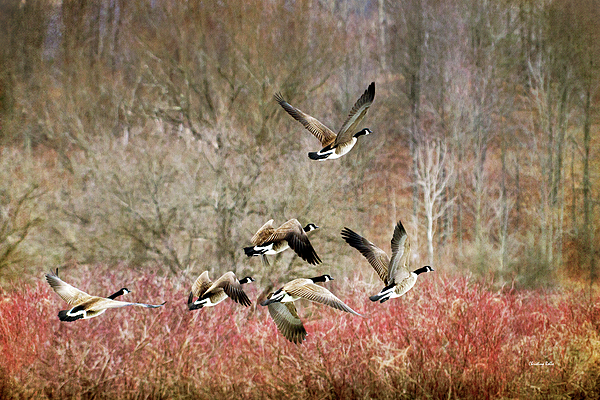 Christina Rollo - Canada Geese In Flight