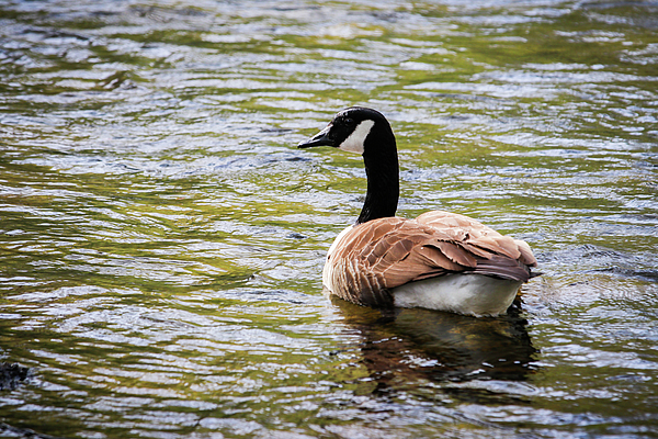 Lisa Bell - Canada Goose Crossing