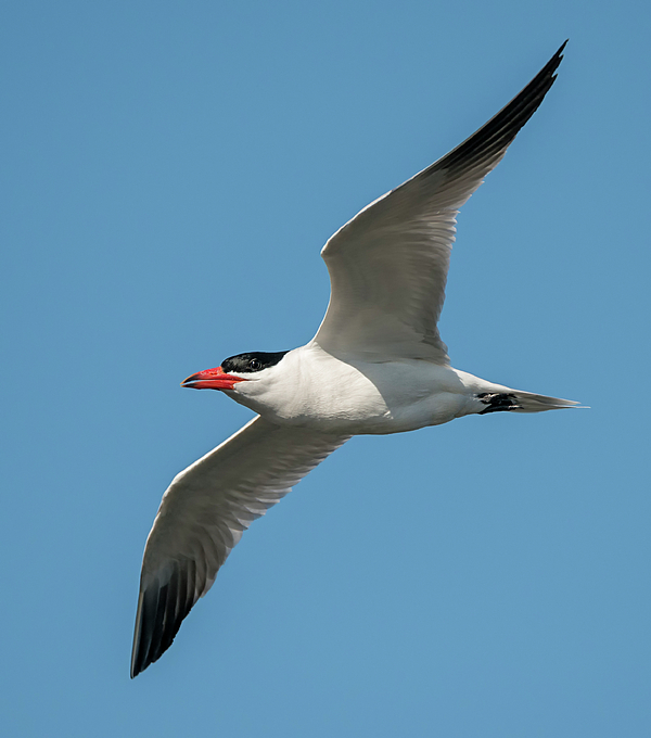 Loree Johnson - Caspian Tern