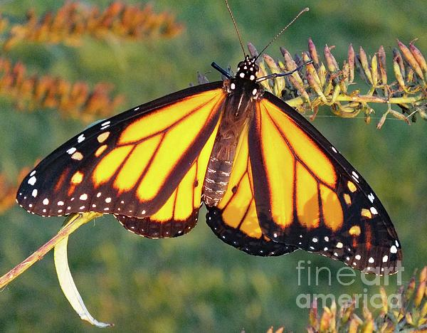 Cindy Treger - Catching Some Rays - Monarch