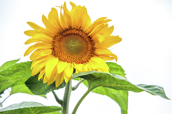 Jenny Rainbow - Cheerful Flower Cheerful Mood