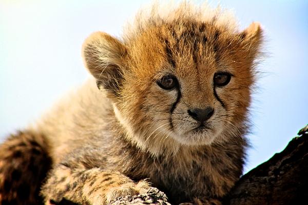 Matthew Keoki Miller - Cheetah Cub