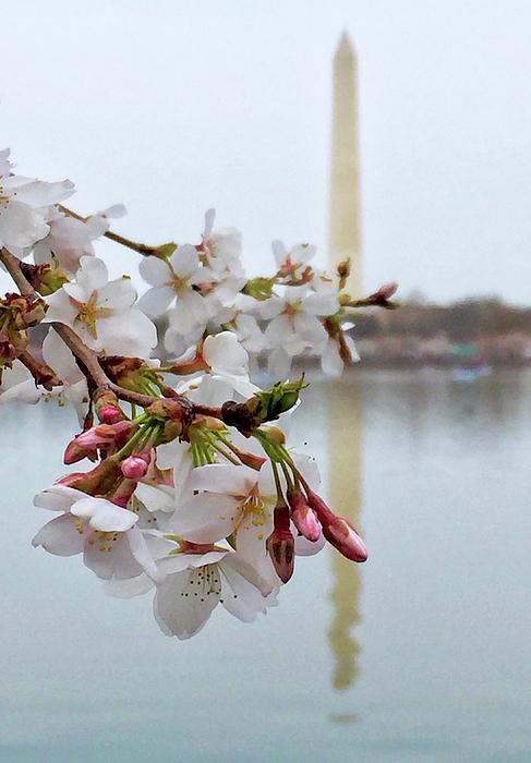 Nancy Shen - Cherry Blossom in DC