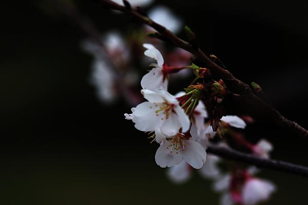 Nancy Shen - Cherry Blossom