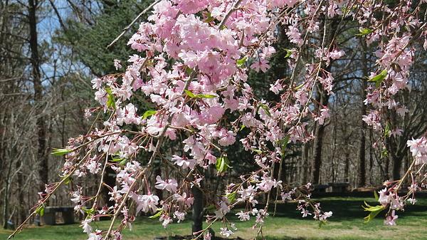 Jean Costa - Cherry Blossoms