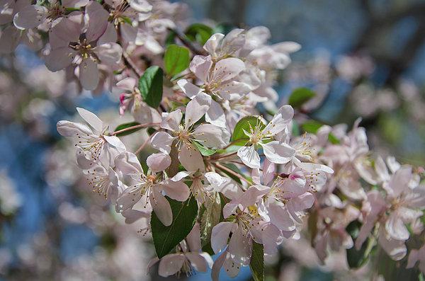 Joan Carroll - Cherry Blossoms