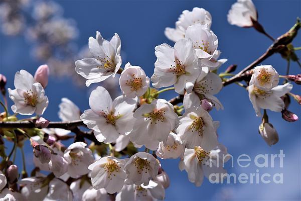 Sharon Patterson - Cherry Blossoms